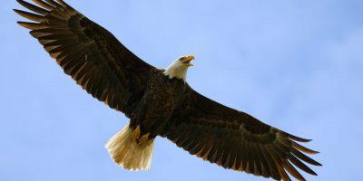 Huge Bald Eagle Overhead, Wings Spread in Blue Sky